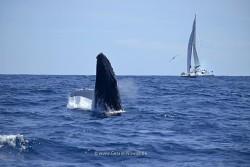 springender Buckelwal vor einem Segelschiff