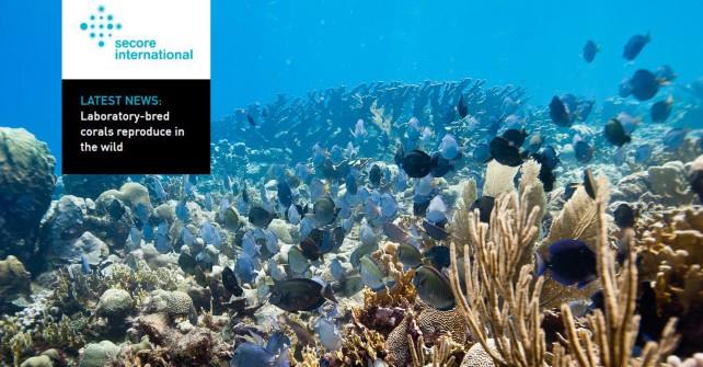 Nachzucht gefährdeter Korallen: SECORE stellt sich vor