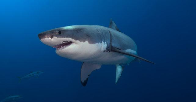 Der Weiße Hai – Killer? Vorurteil! Vom Aussterben bedroht? Trauriger Fakt!