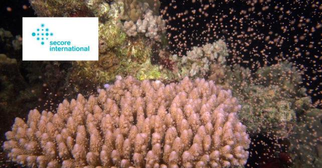 Neue Korallen wie am Fließband? – Secore's Fortschritte in der Restauration von Korallenriffen