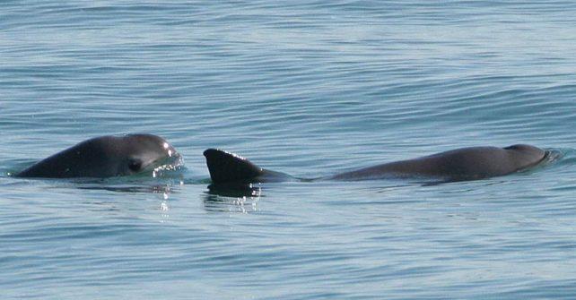 Kraftakt für den kleinsten Wal der Welt