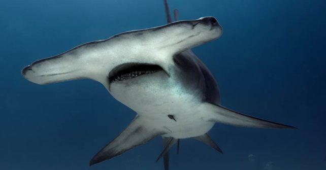 WWF veröffentlicht Verhaltenskodex für Tauchtourismus mit Haien und Rochen
