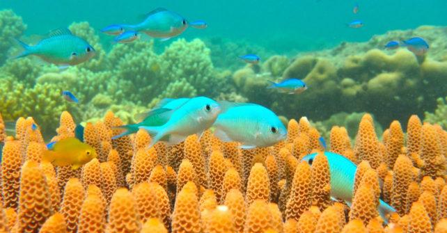 Öl im Meer verändert das Verhalten von Rifffischen