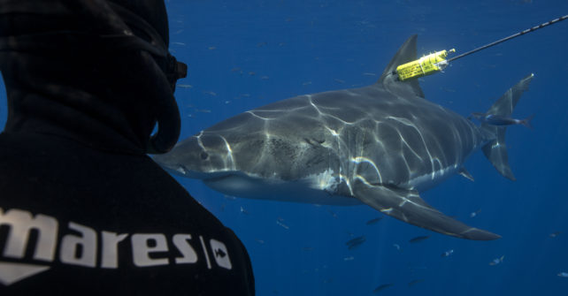 """Great White Mystery"" von Sharkproject"