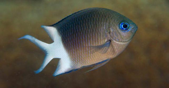 Rifffische erben Toleranz gegenüber der Erwärmung der Ozeane