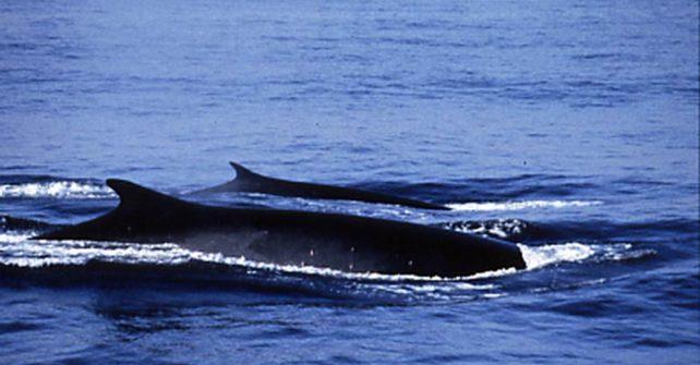 Neue Rote Liste: Hoffnung für Wale