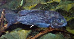 Oreochromis squamipinnis